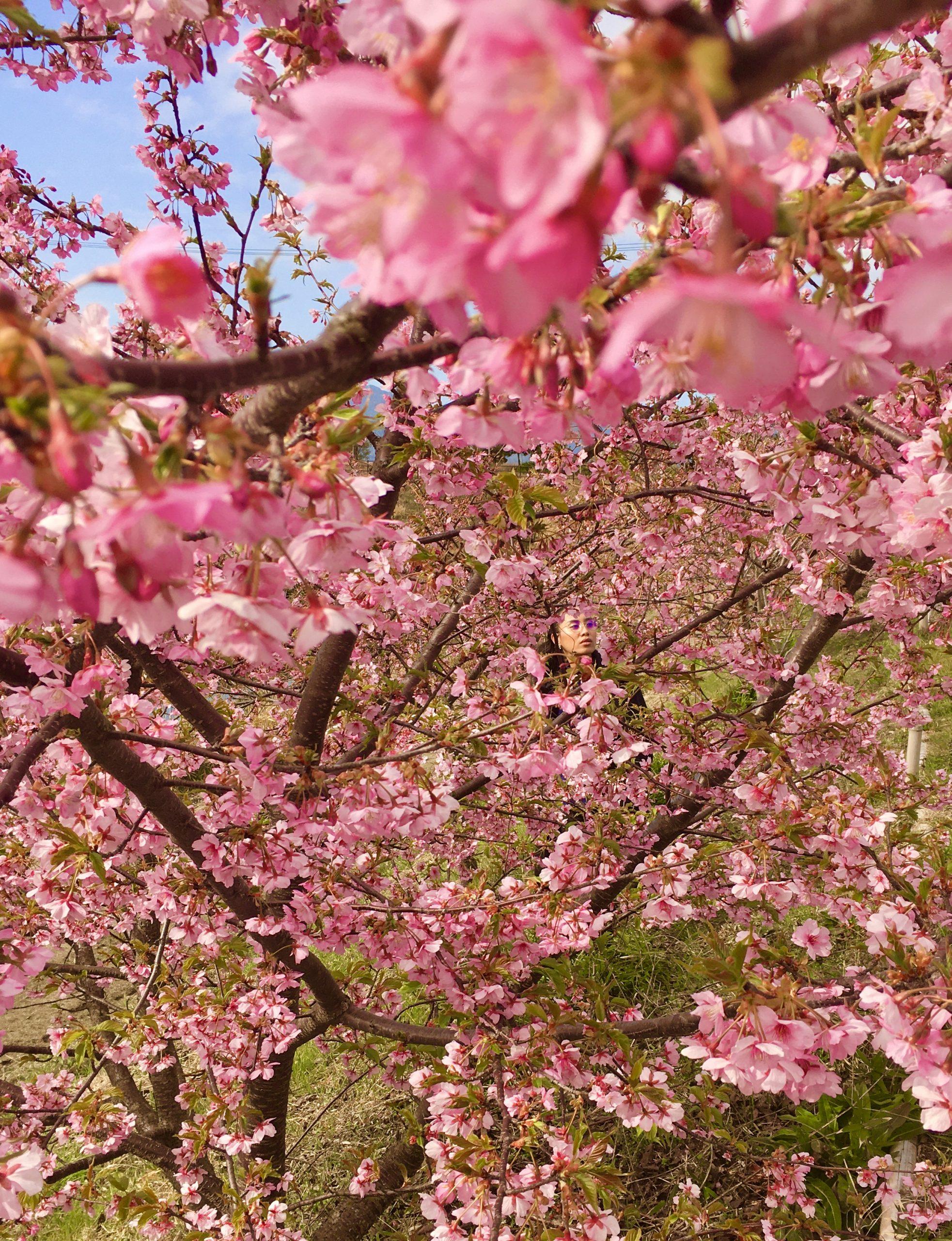 Cherry Blossoms in Kusami, Fukuoka