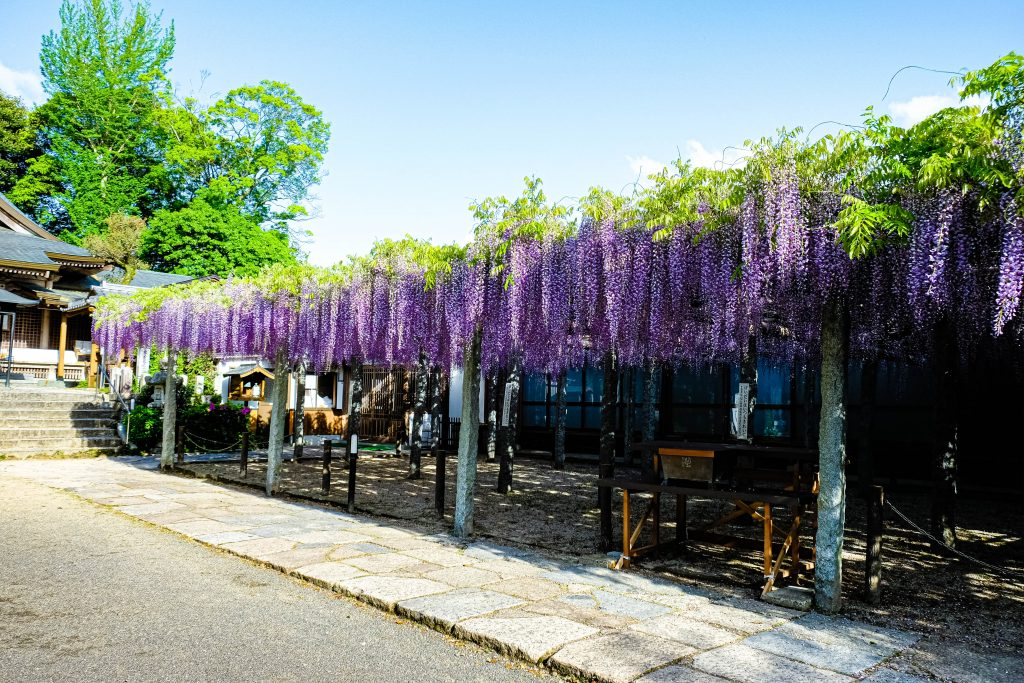 The gorgeous wisterias in Buzouji Temple