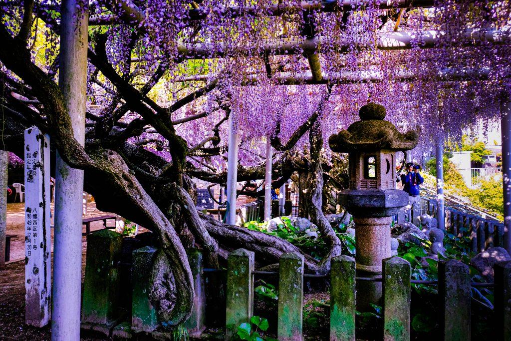 Wisterias in Kisshouji temple