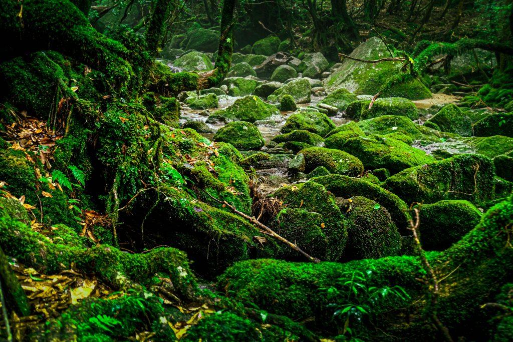 Mossy Forest in Yakushima, Kagoshima