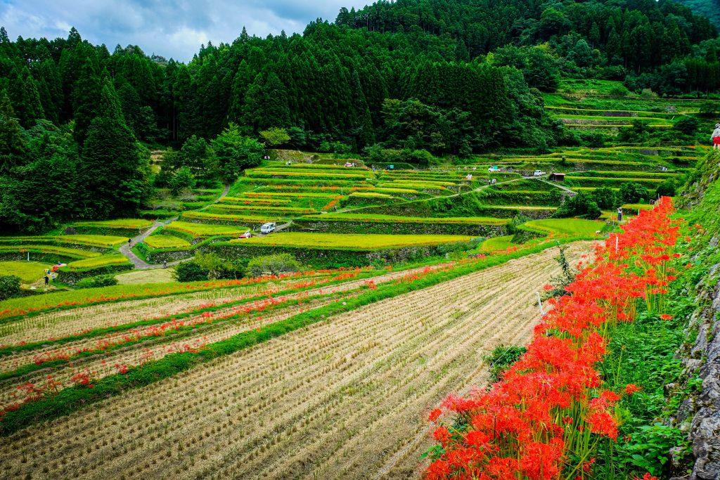 Spider Lilies at Tsuzura Rice Terraces