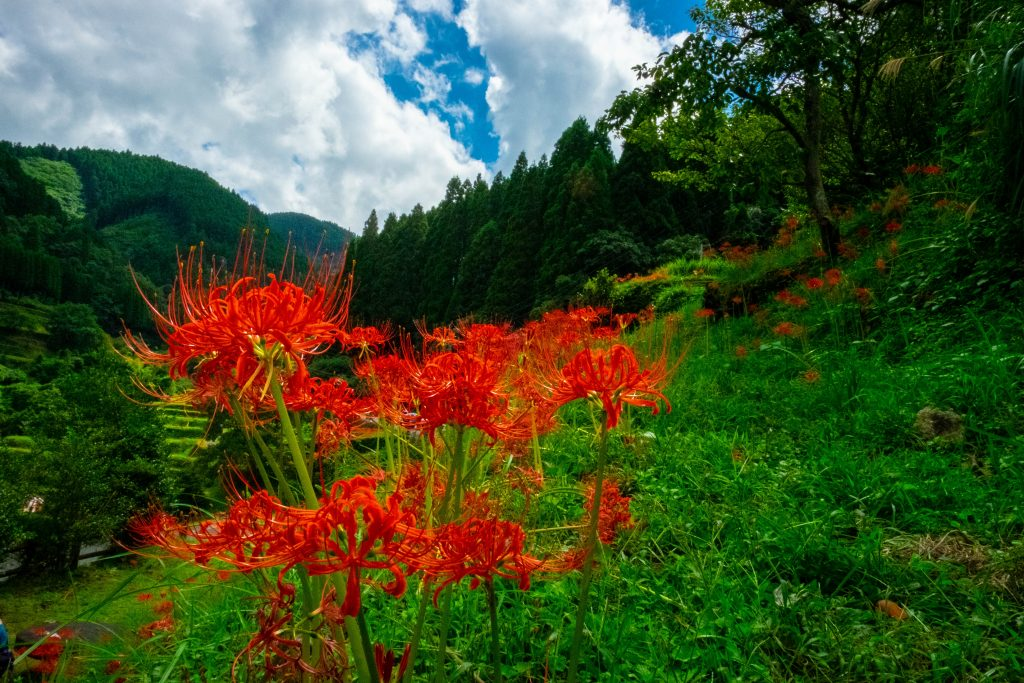 Spider Lilies up on the Mountains
